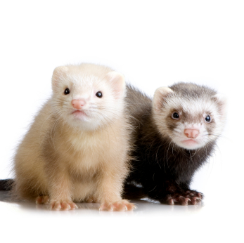 two Ferrets kits (10 weeks)